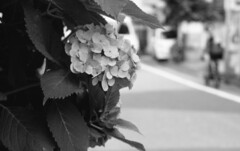 160625_PentaxMe_007 (Matsui Hiroyuki) Tags: pentaxme jupiter985mmf20 fujifilmneopan100acros epsongtx8203200dpi