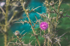Prickly (WillemijnB) Tags: plant green fleur plante graffiti groen dof purple doorn bokeh thistle sting violet vert sharp depthoffield prickly distel prickles paars bloem dorn thorne floweringplant prickle pine stekel