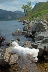 A Leap In the Lakes (Resilient741 Photography) Tags: uk bridge portrait england dog lake water puppy jump jumping district canine valley cumbria bichon frise doggy pup leap ennerdale