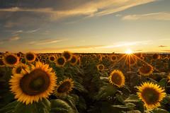 Sunflower Sunset (Zoli Tl) Tags: d750 20mm