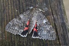 crvena lenta, Pleivica (mdunisk) Tags: aatocalanupta crvenalenta leptir leptiri moljac mdunisk manjavas terihaji otrc oki rude kukac kukci moth