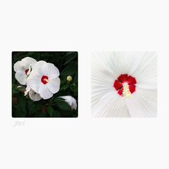 Hibiscus (jeanne.marie.) Tags: iphoneography iphone5s summer diptych flowers hibiscus 100xthe2016edition 100x2016 image79100