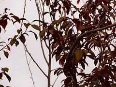 Plum tree 20140925 (caligula1995) Tags: plum 2014 plumtree