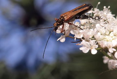 Oedemera podagrariae m - 02 VI 2016 (el.gritche) Tags: coleoptera france 40 garden oedemeridae oedemera podagrariae oedemerapodagrariae apiaceae daucuscarotta