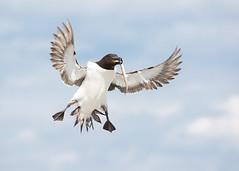 Petit Pingouin -  Razorbill (Amlie Gagnon) Tags: