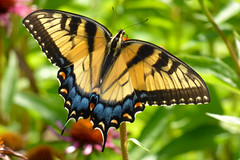 On Display (Alemap.1) Tags: swallowtail butterfly insect macro nature garden light