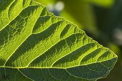 Hoja en textura (borjamuro) Tags: macro insecto insect flor flower color colour hoja leaf verde green amarillo yellow rojo red nikon d7100 7100 abeja bee textura texture polen pollen bicho bug ladybug