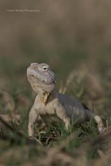 FACE TO FACE (Asaru Kariyil Photography) Tags: facetoface agama yellowspottedagama summer summerclick mammal mammals qatarmammals qatar mekainesqatar