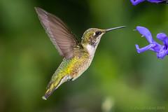 Ruby-throated Hummingbird (Archilochus colubris) (danielusescanon) Tags: rubythroatedhummingbird archilochuscolubris birdperfect animal planet animalplanet wild brooksidegardens maryland flying bif