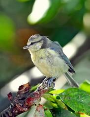 Juv. Blue tit, Garden, 6th August 2016 (Lathers) Tags: cyanistescaeruleus bluetit juv juvbluetit canonef500f4lisusm canoneos1dx nuneaton warwickshire