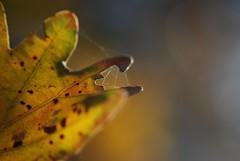 leaf (sz1507) Tags: nature natura autumncolors verde green giallo yellow profonditdicampo d60 nikond60 pianta tree piante albero bosco coloriautunnali colori colors autumn autunno rugiada foglia leaf