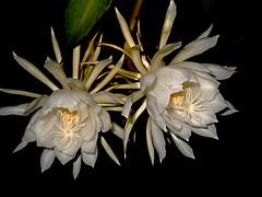 Noche de verano (mnovela2293) Tags: epiphyllum oxipetalumcactusorqudea dama de la noche blanco epfita