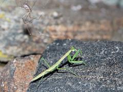 160630_2100 (jadoxkast1) Tags: praying mantis insect long legged cellar spider prayingmantis attacked