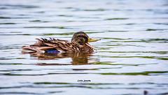 Yelling duck (nemi1968) Tags: canon canon5dmarkiii ef100400mmf4556lisiiusm june markiii beak bird closeup duck talking water specanimal ngc