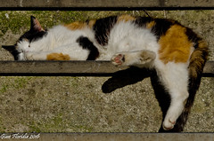Do not disturb... (Gian Floridia) Tags: fieschi liguria cat donotdisturb dormiente gatto nondisturbare sleeping