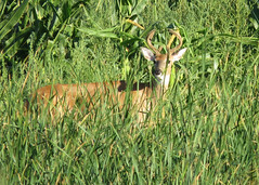 White-tailed Buck (Kelly Preheim) Tags: whitetailed deer