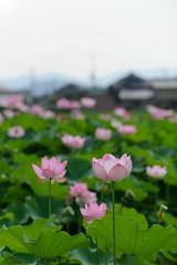 20160806 Ofusa Kannon 7 (BONGURI) Tags:    jp lotus pink     flower flowers  fujiwarakyo  kashihara  nara  nikon d3s afsvrzoomnikkored70200mmf28gif