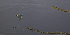Kingfisher11 (lorrainejubb) Tags: kingfisher oldmoor rspb diving catchingfish