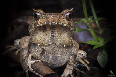 Perak Horned Toad (Abhishek T) Tags: perak horned toad frogs amphibians nature wildlife animals