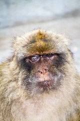 Portrait of a Barbary macaque (TimOve) Tags: vacation ferie trip summer sommer portrait gibraltar therock barbarymacaque rockape monkey furry