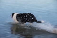Speedy Dog - Paremata Beach (feefoxfotos) Tags: dog movement running sea fetch blurr