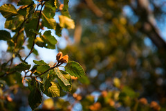 Harbinger of autumn (Ir3nicus) Tags: nikond750 dslr germany deutschland niederrhein outdoor nature closeup bokeh tree beech buche beechnut buchecker leaves branches sunny autumn fall herbst