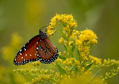 Are we there yet? (Kreative Capture) Tags: golden goldenrods butterfly macro monarch flying nectar plant wings pretty drink dof yellow flower wildflower texas nikkor nikon d7100 migration migrate outdoor insect
