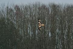 Flying through Snow (Poltrebost) Tags: snow kite bird scotland flying flight eagles birdofprey hawks doune milvus argaty