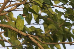 Blue-throated Barbet (Psilopogon asiaticus asiaticus) (piazzi1969) Tags: blue india green birds asia wildlife kaziranga barbets bluethroatedbarbet bartvogel psilopogonasiaticus