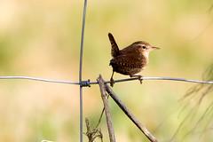 Sitting pretty (Darran Jones) Tags: bird nature farm wildlife wren canon400mmf56 perchedbird canon7d perchedwren
