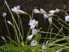 Sway (nofrills) Tags: flowers flower green nature flora purple urbannature purpleandgreen  purplegreen