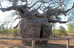 Boab Prison Tree (Jungle Jack Movements (ferroequinologist)) Tags: derby westernaustralia wa australia kimberley boab tree boabtree prison sad adansonia adansoniagregorii john capital ss jungle jack