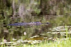 04-06-15-000001043.jpg (Lake Worth) Tags: bird nature birds animal animals canon wings florida wildlife feathers wetlands everglades waterbirds southflorida 2xextender sigma120300f28dgoshsmsports