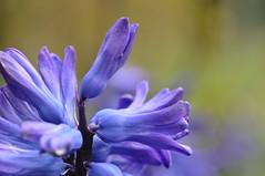 Garten Hyazinthe (nirak68) Tags: deutschland spring blau hyacinth frhling hyacinthus hyazinthe eutin asparagaceae 097365 spargelgewchs c2015karinslinsede