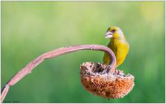 Verdone (Fausto Deseri) Tags: greenfinch carduelischloris verdone wildlife nature birds wild parcodellapiana nikond7100 nikkorafs300mmf4 nikontc17eii