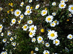 small wild daisies  DSC03734 (amalia_mar) Tags: white green spring country greece wildflowers wellow        aitoloakarnania gavalou sonyericssone10i  smallwilddaisies