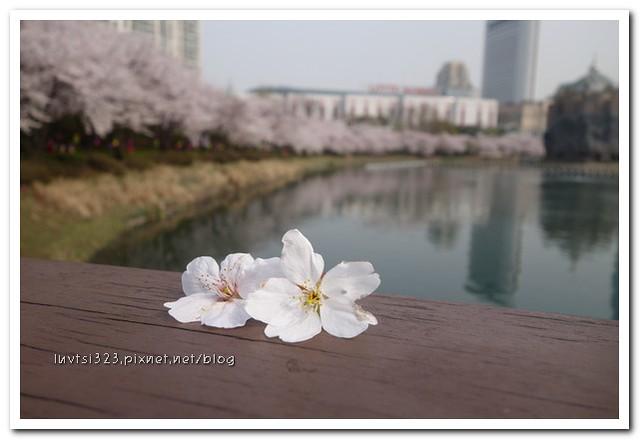 석촌호수벚꽃길16