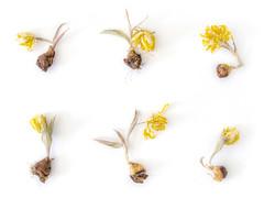 Dead Flowers (Wilm!) Tags: flowers dead tulips bol tulp jellow tulpenbol