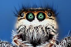Salticidae (ID needed) (Macroscopic Solutions) Tags: macro spider jumping eyes micro sem jumper kit macropod microscope salticidae macroscopicsolutions