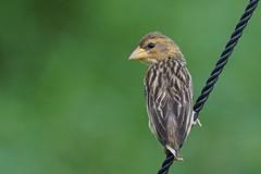 Baya Weaver - Female (teckhengwang) Tags: life wild green bird female singapore forrest sony lot jungle tc weaver common tamron lor 70200 f28 a77 70200mm kenko 14x baya halus a77mkii a77m2 a77mk2 a77mii a77mkiia77mk2