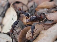 P1030912 (Dr Zoidberg) Tags: hormigas escarabajo zuiko50mmmacro