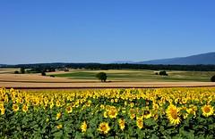 Tournesols en campagne (Diegojack) Tags: fleurs nikon campagne paysages tournesols senarclens nikonpassion d7200