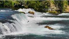 The bear cam at Brooks Falls, Katmai, Alaska (Brenda Boisvert) Tags: ipad air2 nature bears brownbears grizzly fishing fish salmon trees forest wild screenshot