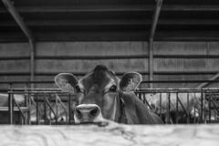 04200 (' A r t ') Tags: 04200 arthurcammelbeeck cammelbeeck denmark outdoor raw summer animal artcammelbeeck bw blackandwhite camelendk cow ko monochrome wwwflickrcomphotosartcammelbeeck