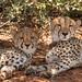 Cheetah Mom and Teen