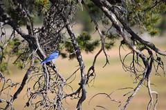 Mountain Bluebird, Yellowstone (morston_max) Tags: mountainbluebird yellowstone wyoming bluebird birds