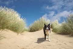 Poppy in the dunes at Formby point (Keartona) Tags: poppy bordercollie dog sunny day sand dunes grasses enjoying happy sunshine merseyside sefton coast sandy england english summer