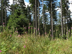 IMG_8580 (germancute) Tags: outdoor nature wildflower flower blume wald forest baum tree butterfly schmetterling