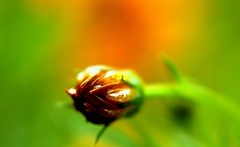 ~cosmos bud~ (~~ASIF~~) Tags: light orange color macro green bright bokeh outdoor depthoffield minimalism canon60d