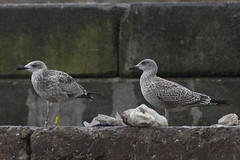 Caspian gull / Larus cachinans / Pontische meeuw 1cy (possible a hybride cach x argen) [Y] X054 (Herman Bouman) Tags: caspiangull laruscachinnans pontischemeeuw 1cy y x054